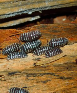 group of Armadillidium maculatum