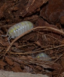 "Armadillidium vulgare ""magic potion"""